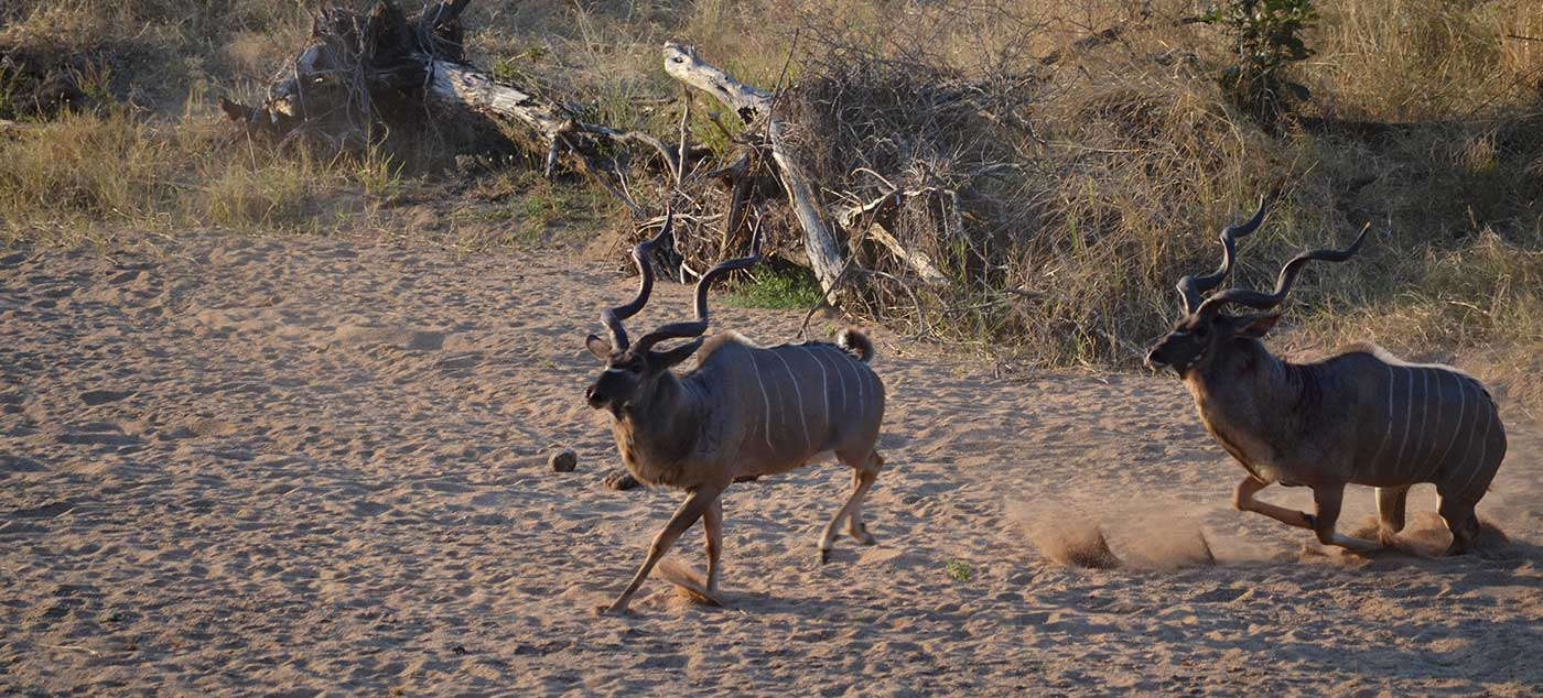 kudu-fight-(19)